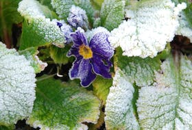 """""""St. Mamertus, St. Pancras, and St. Gervais do not pass without a frost."""" This pretty Primrose is a hardy perennial, but gardeners never want to see it looking like this!"""