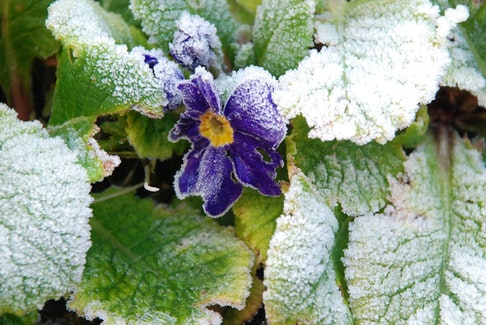 """St. Mamertus, St. Pancras, and St. Gervais do not pass without a frost."" This pretty Primrose is a hardy perennial, but gardeners never want to see it looking like this!"