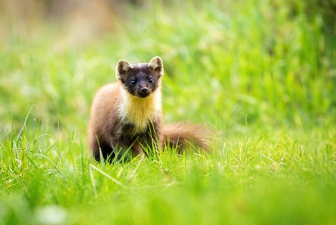 A pine marten is currently one of Nova Scotia's rarest animals. Contributed