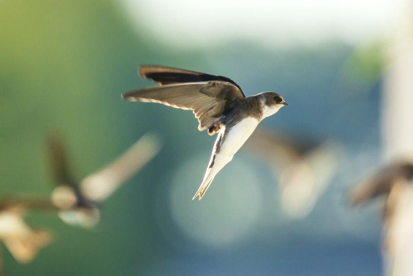 The bank swallow is classified as endangered. Contributed - Contributed