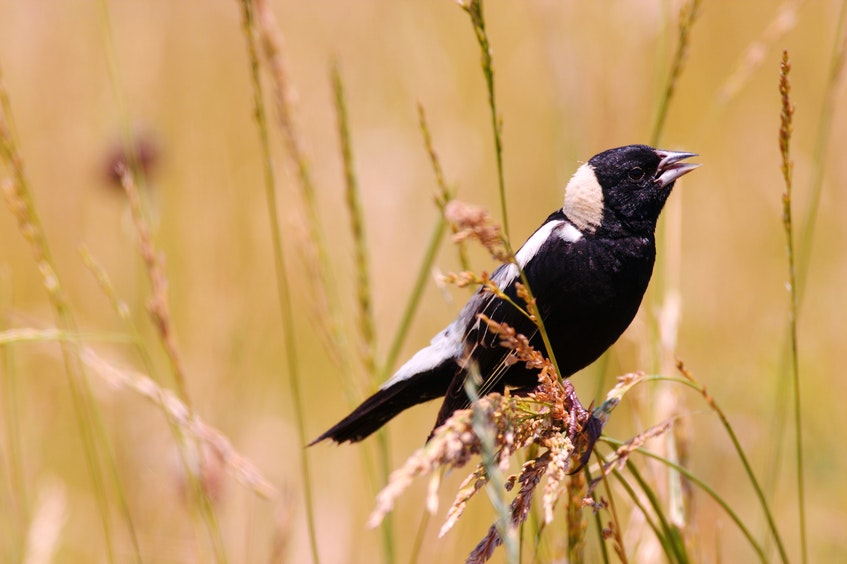 The bobolink is currently listed as vulnerable. Contributed - Contributed