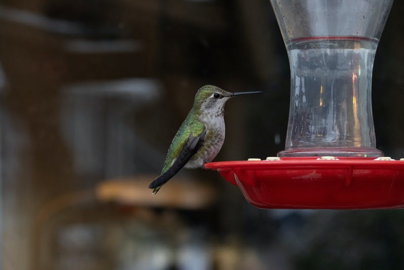 Hummingbirds are one of the kinds of birds it's safe to feed, but they can only eat a mixture of one part white sugar to four parts water. Anything else can put them at risk. - RF Stock