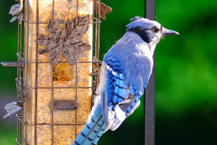 Backyard feeders are a great way to see birds - but they can also put your feathered friends at risk of disease.