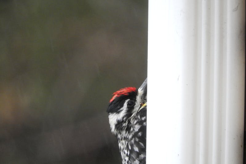 Ron Arvidson, from South Melville, P.E.I., says to remove bird feeders, suet and birdbaths in the summer to help curb the spread of disease amongst birds. There are also steps you can take to make windows more visible to birds, reducing the chance of strikes. - Photography by Ron Arvidson - RF Stock