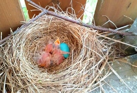 Flora Marchand of Sydney, N.S. sent this photo for her grandniece, Rhysa Marinelli, who thinks this nest we found in her backyard is so cool. The eggs were found last week and on May 1 she and Rhysa found them hatched. Thank you, Flora for this wonderful photo.