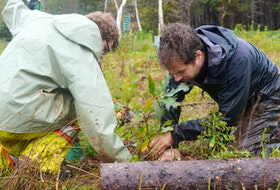 Parks Canada's Travis James, left, and Louis Charron plant a tree at Cavendish Campground, Prince Edward Island National Park on Oct. 14.
