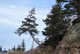 During a visit to Hall's Harbour, N.S., Barbara Tucker snapped this photo of a tree growing at the cliff's edge. The tree's trunk juts out at a strange angle from the cliff and reaches for the sky to get the most sunlight. Did you know Hall's Harbour is believed to be named after Samuel Hall, an American privateer during the American Revolution? Hall used the cove to raid settlements along the Annapolis Valley. Thank you, Barbara, for this beautiful photo.