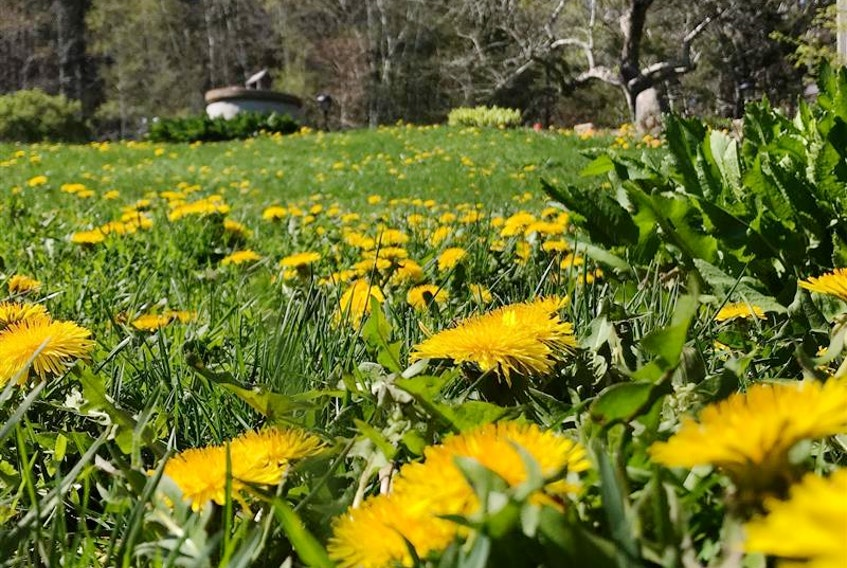 People are being asked not to mow their lawns in May in order to help bees and other pollinators.  (Contributed)