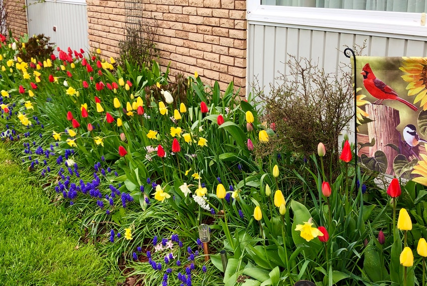 """On a cloudy day, these stunning spring flowers light up Barbara Hanrahan's yard in Charlottetown, P.E.I.  Barbara's garden is an """"all-you-can-eat buffet"""" for the bees these days. We and the bees thank you, Barbara."""