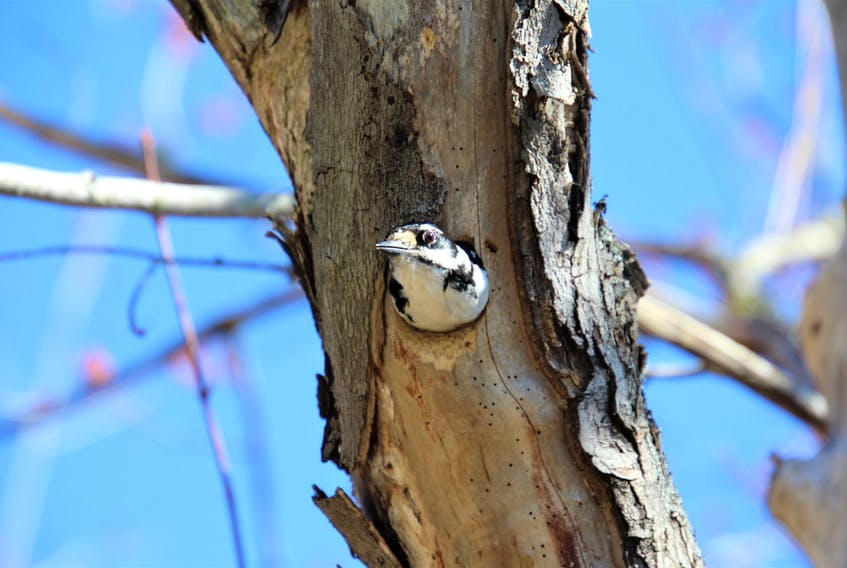 """Lee Edgar was out for a stroll on the Old Lawrencetown trail in Cole Harbour, N.S., when he heard a pecking sound.  The sound was coming from a tree.  As he approached, he noticed a hole. Lee was about to take a photo when out popped this adorable hairy woodpecker.  Lee surmises that this little fella """"wanted to see who was at the door.""""    Thanks for taking us on that journey with you, Lee."""