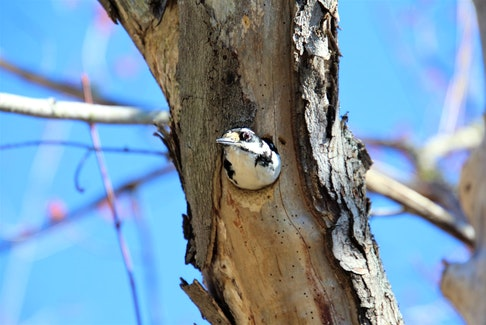 "Lee Edgar was out for a stroll on the Old Lawrencetown trail in Cole Harbour, N.S., when he heard a pecking sound.  The sound was coming from a tree.  As he approached, he noticed a hole. Lee was about to take a photo when out popped this adorable hairy woodpecker.  Lee surmises that this little fella ""wanted to see who was at the door.""  