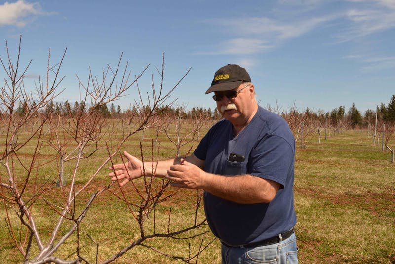 Barry Balsom checks one of his peach trees. - Alison Jenkins