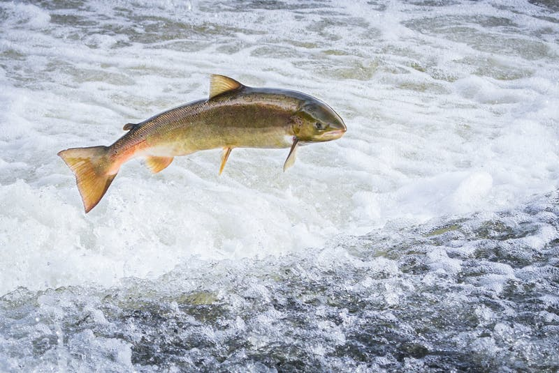 An Atlantic salmon (Salmo salar) jumps out of the water at the Shrewsbury Weir on the River Severn in an attempt to move upstream to spawn. Shropshire, England. - File photo