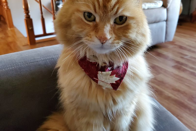 It's not just dogs that get dressed up, says Margaret Wedge. Some cats, like this one, enjoy wearing specially-made bandanas.  - Contributed