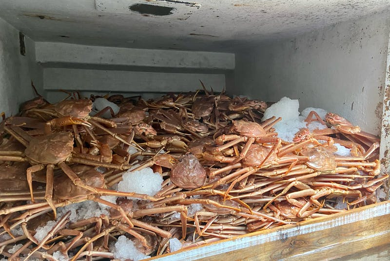 Freshly caught crab is kept on ice until it can be landed. - Contributed