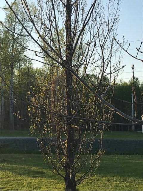 The oak won the spring sprint in Woodburn, N.S. last year. Leanne MacArthur's columnar oak started to leaf out before her ash tree did.