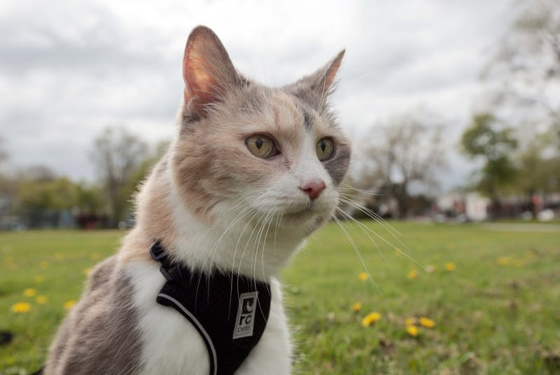 Mackenzie, a 15-year-old calico cat, is seen at the Halifax Common on Wednesday, May 19, 2021. Angela Rafuse says it was a rough transition taking Mackenzie in last year, but the grumpy cat has since warmed up to her. - Eric Wynne