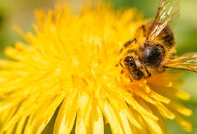 Bees are pretty happy right now with all of the dandelions blooming, says Pictou County beekeeper Donald Dunbar. There are other simple things you can do, like holding off on mowing or planting bee-friendly plants in your garden, to help them thrive.