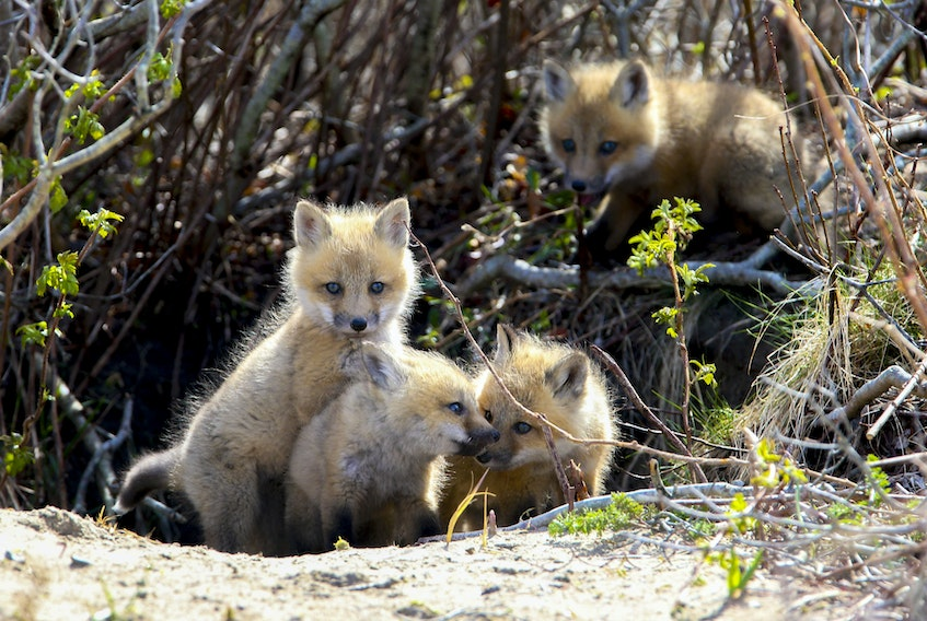 FOR NEWS STANDALONE: Fox kits stick close to their den, seen near Cole Harbour NS Saturday May 1, 2021.  TIM KROCHAK PHOTO