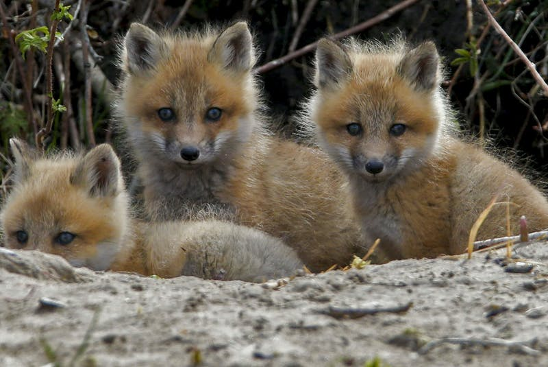 Fox kits stick close to their den near Cole Harbour on Saturday, May 1, 2021. - Tim  Krochak