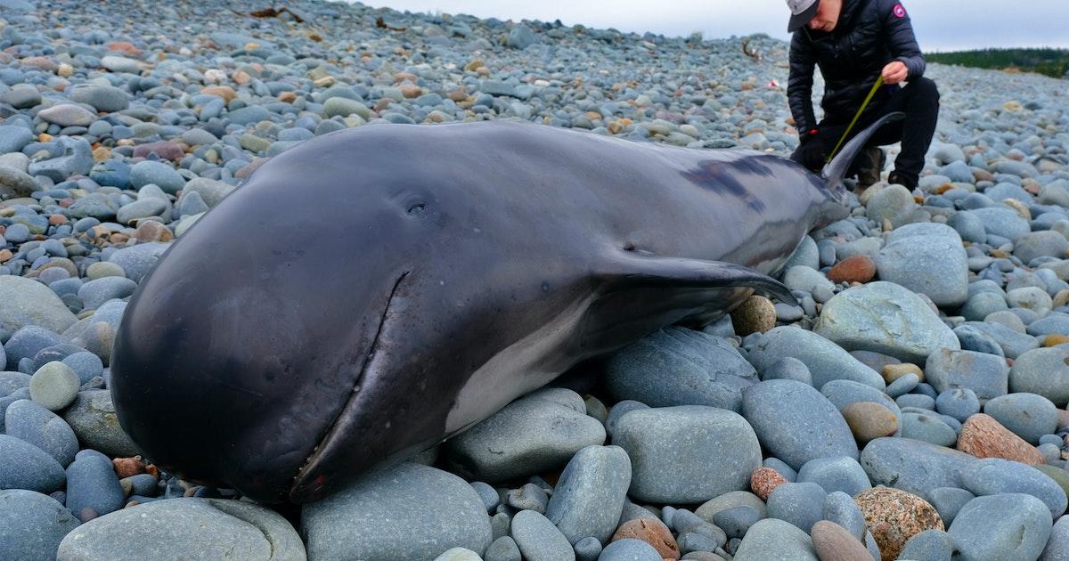 Pilot whale dies on Rainbow Haven beach despite response team's best efforts | Saltwire