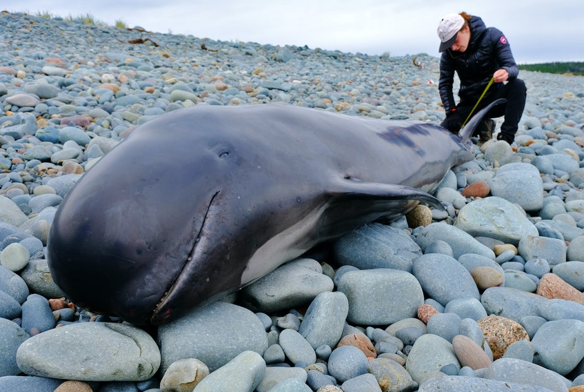 FOR NEWS STANDALONE: Alexandra Vance, a primary responder with MARS, takes measurements from the tail fin of a deceased juvenile pilot whale, on the beach at Rainbow Haven Park Sunday May 2, 2021. Saturday evening the people from MARS spent several hours trying to rescue the calf. This morning they found that their attempts were not successful.  TIM KROCHAK PHOTO
