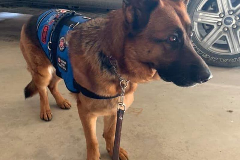 Roxy is a Paws Fur Thought service dog matched with someone experiencing PTSD. -- Paws For Thought - Contributed