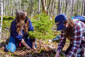 Jen Cooper, left, ACAP Cape Breton project manager and associate executive, and Meaghan Fortune, ACAP Cape Breton project coordinator, dig up a young white spruce for replanting away from the area of a planned berm installation. JESSICA SMITH/CAPE BRETON POST
