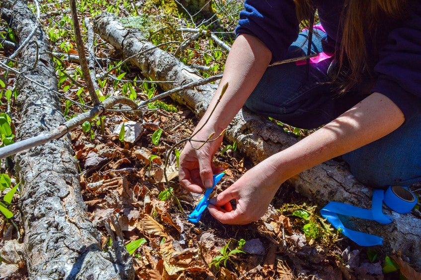 Jen Cooper ties a ribbon around a striped maple that was relocated away from the area of a berm. The ACAP Cape Breton team will continue to check back on the relocated trees over the next few weeks and months to monitor their success post-move. JESSICA SMITH/CAPE BRETON POST