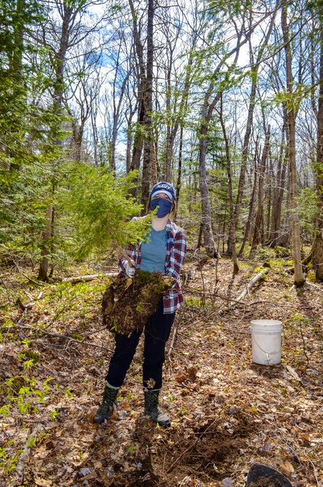 ACAP Cape Breton project coordinator Meaghan Fortune holds up a white spruce for replanting. JESSICA SMITH/CAPE BRETON POST