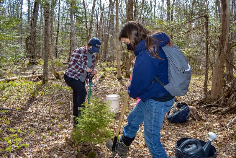 Jen Cooper, right, ACAP Cape Breton project manager and associate executive, and Meaghan Fortune, ACAP Cape Breton project coordinator, dig up a young white spruce for replanting away from the area of a planned berm installation. JESSICA SMITH/CAPE BRETON POST