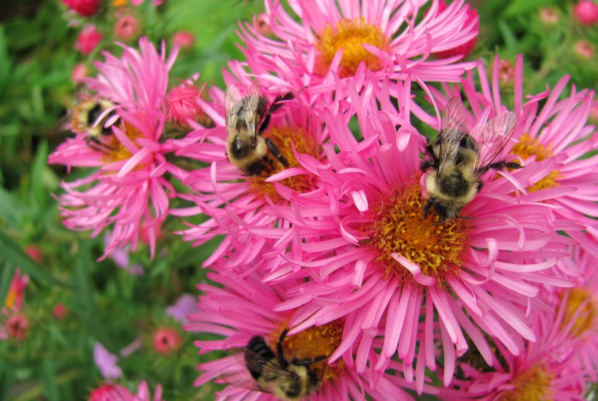 New England asters provide a feast for bees. CONTRIBUTED