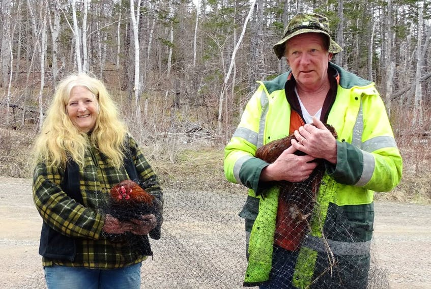 Beverly Brett, left, and Fred MacDonald hold Buck and Buck-Buck, two young roosters that were on the loose in North River. Catching the birds, who appeared to have been released into the wild in the area near North River Provincial Park by their previous owners, took a week and a community effort among about 10 people. CONTRIBUTED