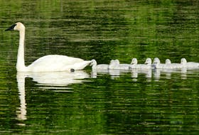 Trumpeter swans swimming on a freshwater pond are evidence that past generations have saved wild species from extinction.