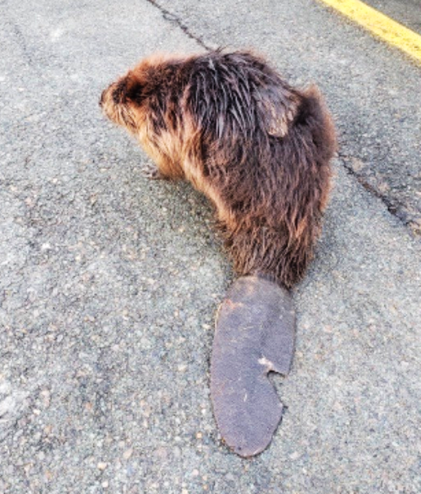 This beaver was recently rescued in the New Minas area after Kings District RCMP found a woman trying to usher the injured animal away from Commercial Street. - Contributed