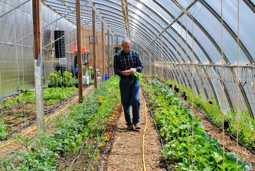 Matthew Roy walks down a row in the Coastal Grove Farm greenhouse in Upper Port LaTour with a handful of fresh picked vegetables. KATHY JOHNSON
