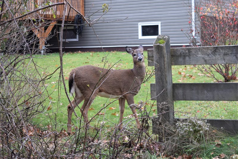 Giving Truro's deer snacks is hurting them, not helping: biologist
