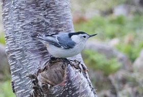 A totally unexpected white-breasted nuthatch delighted birdwatchers at Pouch Cove.