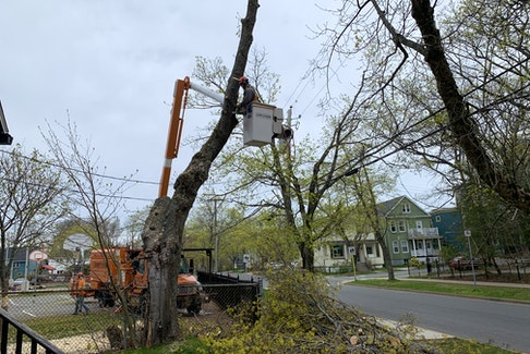 Tree removal specialists take down a century-old Norway maple beside John DeMont's house on Wednesday.