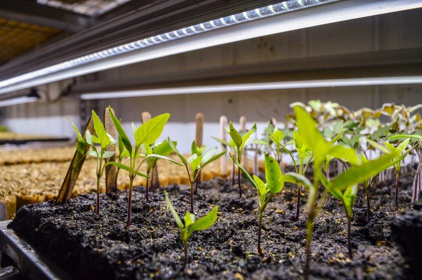 Some microgreens in an indoor greenhouse at Blue Heron Farm in Cape Breton. JESSICA SMITH/CAPE BRETON POST