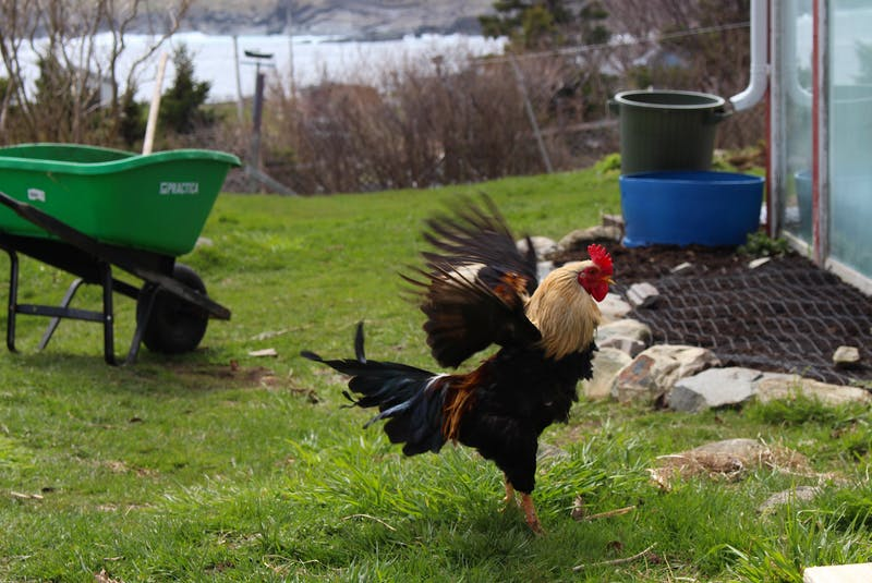 One of several roosters on the grounds of Points East Guesthouse in Pouch Cove where Shawn Dawson works, this guys name is Gorgeous George after a character in Dawson's favourite movie  — Andrew Waterman