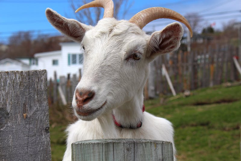 One of the goats at Points East Guesthouse certainly wasn't camera shy. — Andrew Waterman