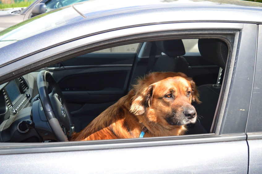 Charlie, a five-year-old German shepherd mix dog currently up for adoption at the P.E.I. Humane Society, loves car rides like a lot of dogs. But, with that big fur coat on, he doesn't want to be left in the car on a hot day. - Dave Stewart
