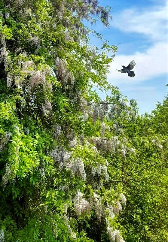 I read every single email I get; I do my best to reply to them all.  Last week, I got an email from Kathryn.  She wanted to share a few photos of a magnificent Wisteria that was in full bloom in St. Margaret's Bay, N.S.  The showstopper belongs to Rita and Ivan Langille.  I reached out to Rita; we had a lovely chat. Rita tells me that she waited 15 years for the blooms to appear, but the wait was worth it.  The Langilles have been enjoying the sight and scent of their Wisteria for more than 15 years now!