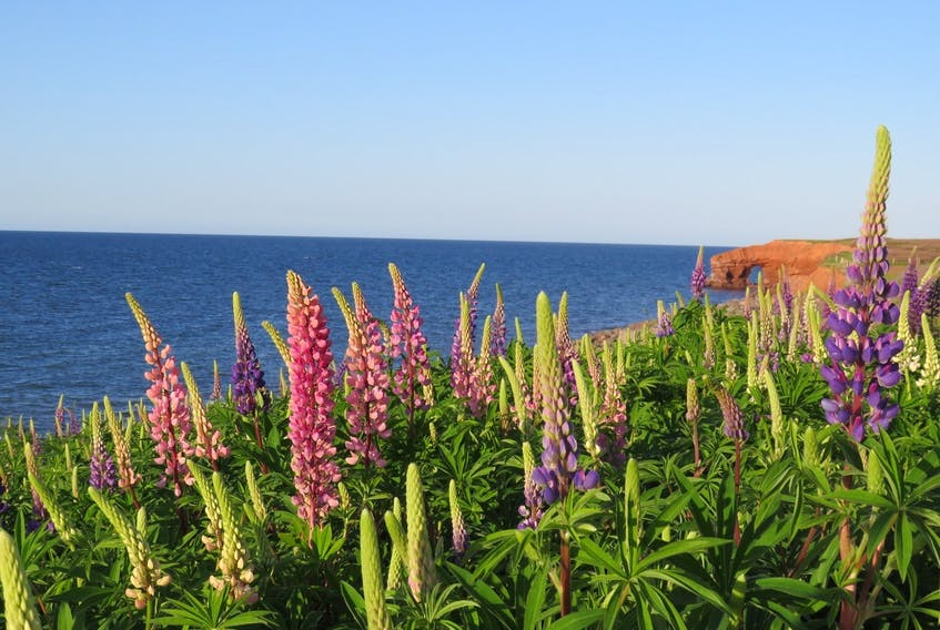 Cavendish National Park is a real treasure and has unique year-round offerings. Michele Lawlor shares the beauty of Prince Edward Island's colourful lupins as they waltz in the late day breeze along the Gulf Shore Parkway.