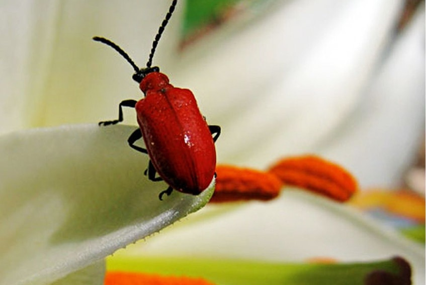 Red lily beetles are strong fliers and can easily spread in gardens if you're not vigilant about hunting them down.
