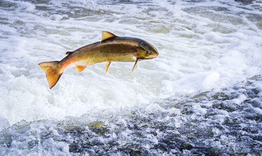 An Atlantic salmon (Salmo salar) jumps out of the water at the Shrewsbury Weir on the River Severn in an attempt to move upstream to spawn. Shropshire, England. Migrating Atlantic salmon from Canada and Europe eventually find their way to the waters around Greenland. - File photo