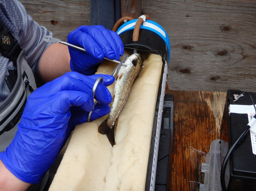 With a quick surgery, DFO salmon scientist Martha Robertson implants an acoustic tag into the body cavity of a salmon smolt on Campbellton River, in Newfoundland and Labrador. — Contributed