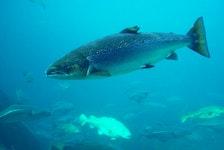 Atlantic salmon.