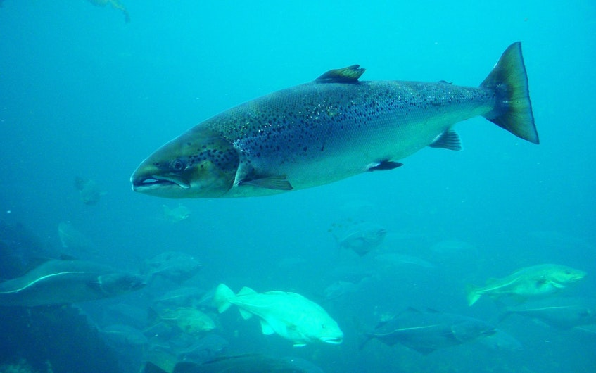 Atlantic salmon. — SaltWire File Photo